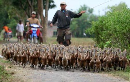 penggembala-bebek-dari-antarafoto-com